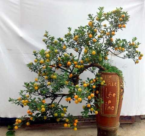 Cây quất bonsai thế long thăng - một trong những  chậu quất bonsai có thế đẹp độc nhất vô nhị được cho thuê với giá bạc triệu ở Tứ Liên. Chủ nhân của nó cho biết, đã có người trả giá tới 70 triệu đồng nhưng anh vẫn quyết không bán.
