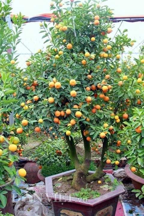 Quất bonsai thế tam đa
