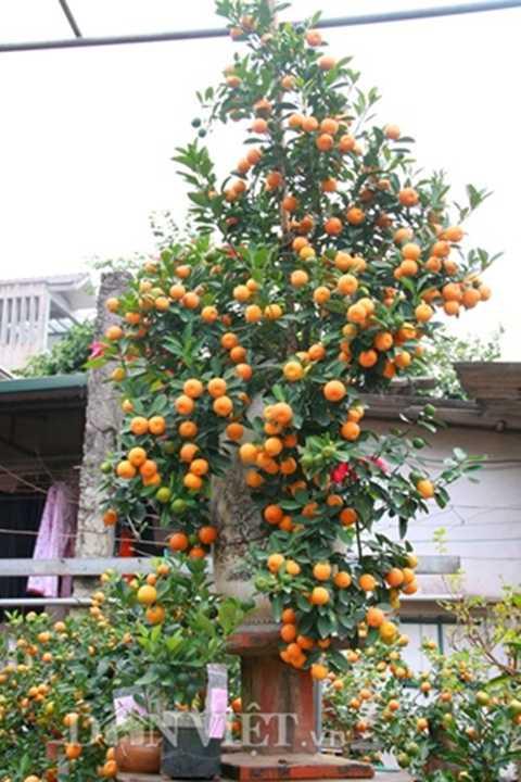 Cây quất bonsai thế long phượng vần vũ được bán với giá 30 triệu đồng