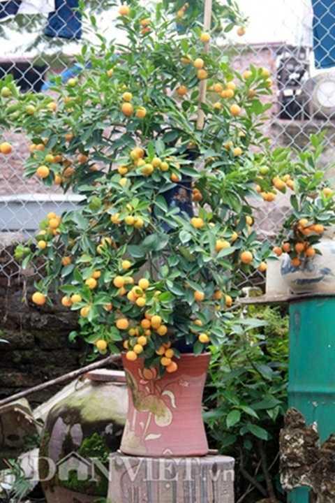 Là chủ nhân của khoảng 600 cây quất bonsai được uốn tỉa long, ly, quy, phượng và trồng trong những chiếc bình gốm sứ, ông Bùi Thế Mạnh (48 tuổi) được xem là một trong số ít những nghệ nhân của làng sở hữu những cây quất thế độc lạ.