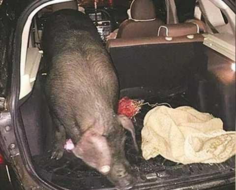 Một con lợn được công ty Lishui tặng cho nhân viên. Ảnh: SCMP