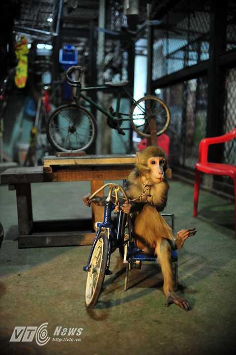 Khỉ là loài thú nhỏ, không gây nguy hiểm nhiều, cắn chỉ chảy máu nhưng để huấn luyện được khỉ là cả một quá trình. Những người gắn bó với xiếc khỉ  tin  rằng càng gần gũi với khỉ nhiều thì càng hiểu được tính cách, tình cảm của khỉ.