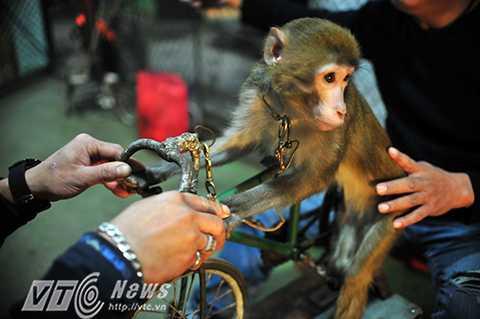 Để có vài phút diễn trên sâu khấu các nghệ sỹ và các chú khỉ luôn phải tập luyện hàng ngày...