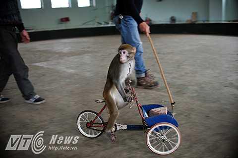 Sau 2 năm, khỉ có thể đạt trình độ biểu diễn tốt trên sân khấu những động tác như: Chạy xe đạp, đi thăng bằng trên con lăn, chụp mũ, đội mũ... Trong đó, động tác khỉ chạy xe đạp hay trồng cây chuối là khó nhất.