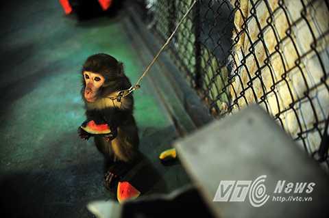 Phút thảnh thơi của Ka trước giờ tập luyện. Ka thuộc loài khỉ lông vàng nổi tiếng thông minh. Ka năm nay đã 5 tuổi. Ka được Nghệ sỹ Nguyễn Chí Quang phát hiện nuôi dưỡng từ  bé