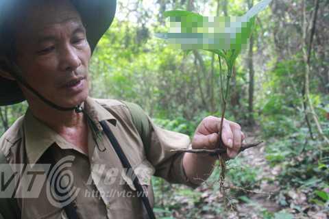 Ông Lâm và cây sâm đá nhỏ