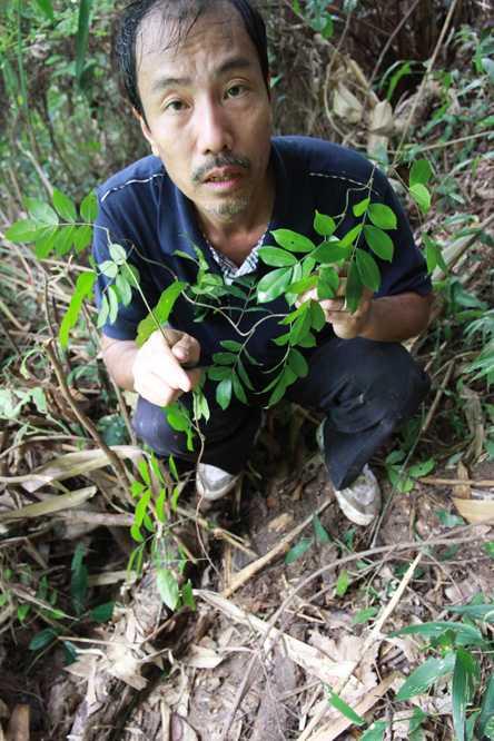 Lương y Thanh bên cây sâm Hoàng Liên do anh trồng trong rừng già