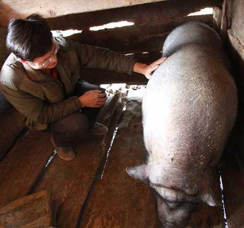 Chú lợn khổng lồ, nặng hơn 2 tạ