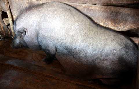 Con lợn này béo đến nỗi không đứng lên được