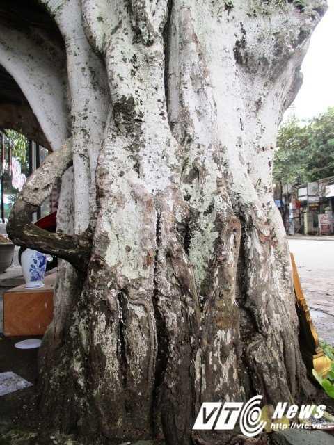 Một trụ của cây bồ đề một người ôm không hết.