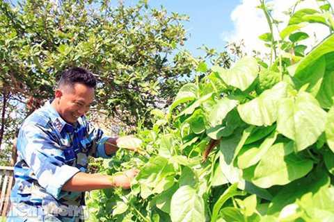 Hết lứa này đến lứa khác, đảo Trường Sa Đông gần như chủ động được lượng rau xanh cho cán bộ, chiến sĩ trên đảo