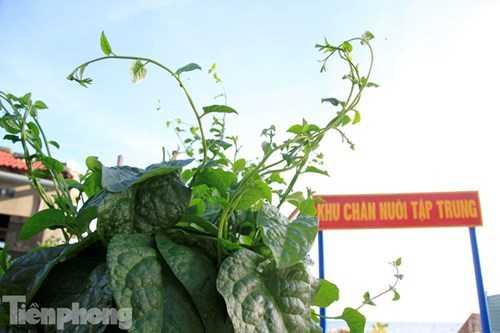 Mồng tơi trên đảo Trường Sa Đông có lá to gấp chục lần lá mồng tơi ở đất liền