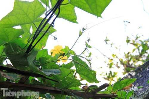 Giàn mướp đang thời kỳ ra hoa kết trái