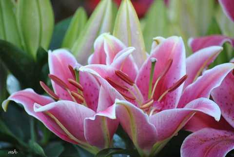 Hoa luôn là lựa chọn hàng đầu cho việc trang trí nhà Tết, đặc biệt là hoa ly bởi những đặc tính như: thơm, đẹp, nhiều màu sắc để lựa chọn và đặc biệt là giữ được tươi trong thời gian dài. Vì thế, trên các trang online, hoa ly được tìm kiếm và đặt mua rất nhiều. Trong những ngày sát Tết Nguyên đán, giá mỗi cành ly đẹp lên đến 50.000 - 70.000 đồng.