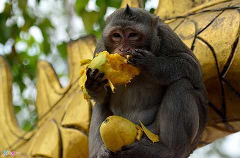 Do một ngày có nhiều người viếng chùa nên lượng thức ăn cho chúng không bao giờ thiếu. Tuy nhiên, cũng có khi bầy khỉ tự hú nhau cướp cả đồ lễ của khách.