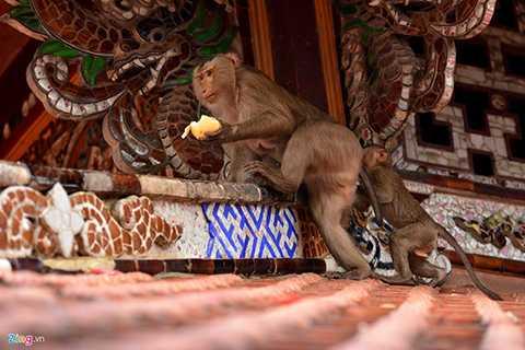 Con khỉ đầu đàn rất hung dữ, luôn cảnh giác với những người đến gần. Vì thế, có người mang khỉ lên chùa phóng sinh, thấy có con khỉ lạ nào xuất hiện, khỉ đầu đàn sẽ huy động cả bầy tấn công, không cho gia nhập đàn.
