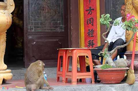Những chú khỉ đã trở nên quen thuộc đối với các nhà sư, người bán hàng lâu năm ở ngôi chùa này.