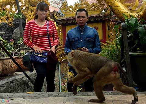 Dù là khỉ hoang dã nhưng do tiếp xúc thường xuyên với con người nên cả bầy cũng dạn dĩ với khách.