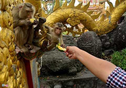 Người tới chùa có thể tận tay đưa thức ăn cho chúng.