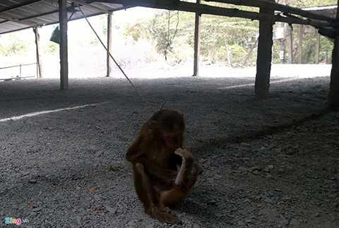Dù hiện tại đàn khỉ núi Châu Thới đang được nhà chùa và người dân trong vùng gắng công bảo vệ nhưng khó canh giữ vì vẫn nhiều kẻ xấu tiếp tục rình rập, chờ săn bắt trộm cả ngày lẫn đêm. Trong ảnh, một con khỉ bị bắt trói bán ngay dưới chân núi Châu Thới.