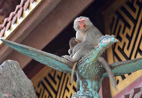 Đàn khỉ rừng đuôi xám, mặt đỏ sinh sống chung quanh chùa gần 20 năm nay.
