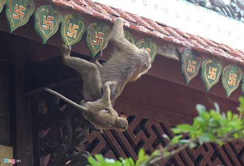 Những cặp khỉ mẹ - con cũng chạy nhảy, đu mình khắp các khu vực trong chùa.