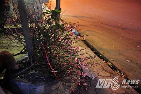 Một cành đào vẫn còn tươi, nhiều hoa bị vứt bỏ trên vỉa hè đường Láng (Đống Đa, Hà Nội).