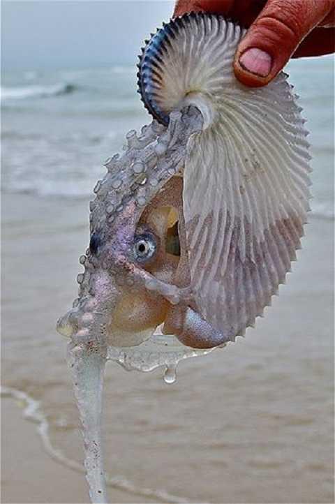 Loại sinh vật này có họ hàng với bạch tuộc