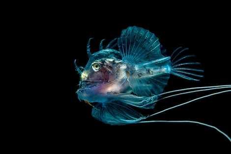 Chú cá có hình dạng dữ dằn nhưng toàn thân lại trong suốt