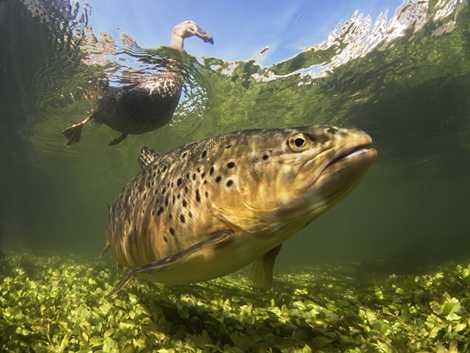 Vịt và cá cùng xuất hiện trong khung hình