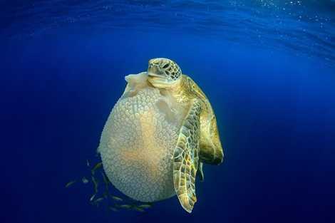 Hình ảnh độc đáo khi rùa ăn sứa