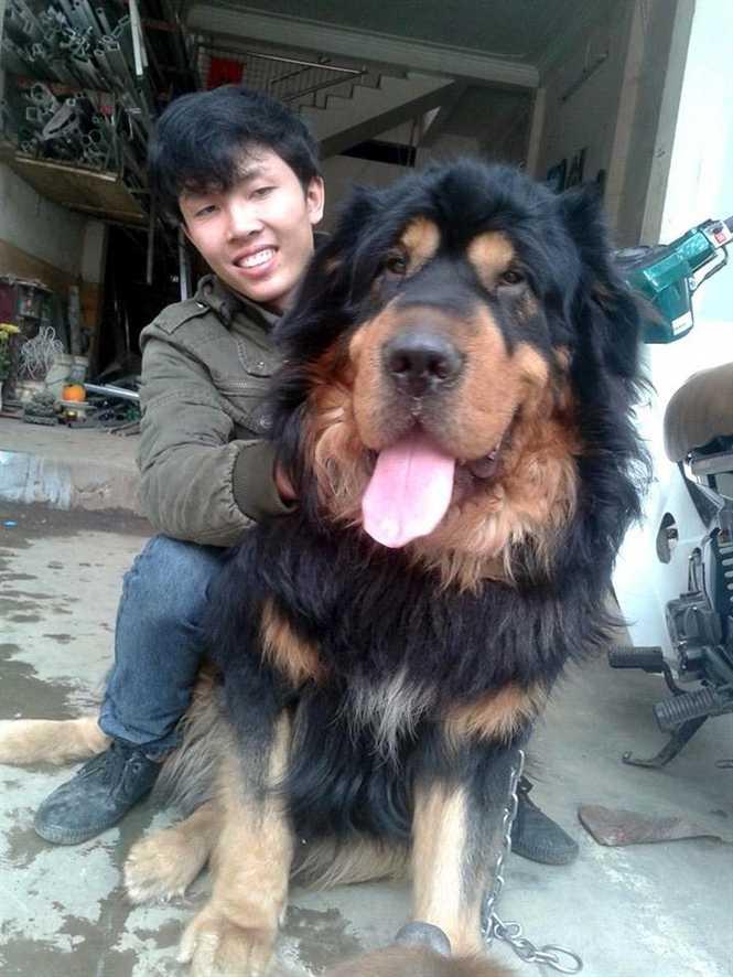 """Anh Thành coi chú chó Ngao Tây Tạng """"khủng"""" như một người bạn thân"""