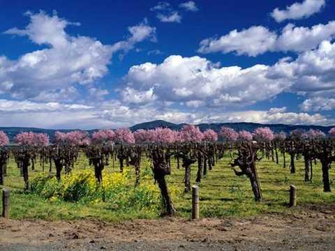 Trên ảnh là vườn nho của gia đình   Trefethen, bên ngoài thị trấn Napa, thuộc thung lũng Napa, bang   California. Loại rượu từ vườn nho này từng đoạt giải cao nhất của hội   rượu vang Chardonnay. Thương hiệu vang của gia đình Trefethen đã có chỗ   đứng vững chắc trong 30 năm qua.