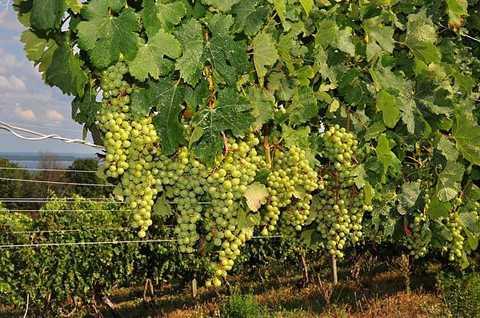 Thung lũng nho ở Traverse trở nên nổi tiếng quốc tế đối với loại rượu vang trắng như Chardonnay và Pinot Grigio.