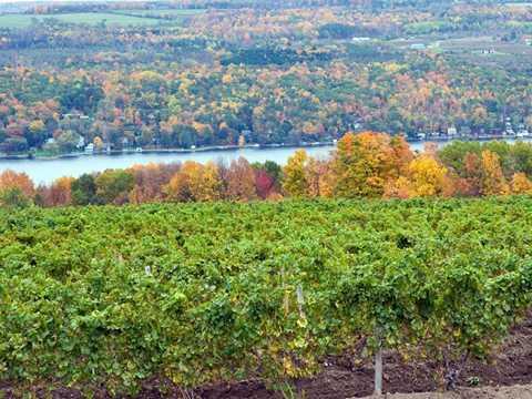 Khu vườn nho rộng lớn nằm cạnh sông Finger Lakes ở ngoại ô New York (Mỹ).