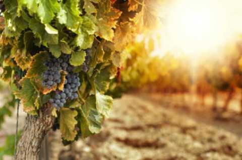 Khu vườn nho này là một trong những vùng   rượu vang phát triển nhanh nhất trong nước và cũng là địa điểm thu hút   đông đảo khách du lịch.