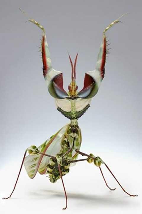 Bọ ngựa hoa mặt quỷ là một trong những loài côn trùng kỳ dị nhất hành tinh. Tên khoa học là Idolomantis Diabolica, đôi khi chúng còn được gọi là
