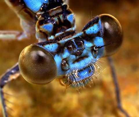 Chuồn chuồn kim Ischnura heterosticta thuộc bộ Odonata, đặc trưng của loài chuồn chuồn này là thân hình thon dài với cặp mắt đa diện rất lớn, đôi cánh trong suốt mạnh mẽ và chắc chắn. Vào mùa giao phối chúng bay nối đuôi nhau, thực hiện nghi lễ kết đôi độc đáo, trở thành nguồn cảm hứng nghệ thuật cho nhiều người. Tuy vậy, đó là bởi họ chưa bao giờ nhìn cận cảnh ngoại hình quái vật của chúng.