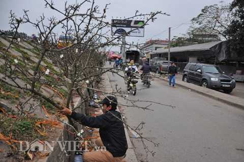 Những cành lê rừng được anh Trường tuyển chọn mua từ các xã, huyện vùng núi của tỉnh Lạng Sơn về chợ Quảng An bán từ trước rằm tháng Giêng.