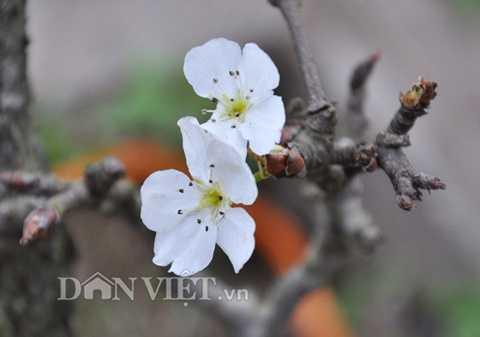 Các bông hoa lê rừng bung nở trắng tinh khôi.