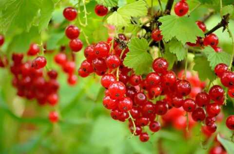 loại nho lạ này với bốn màu đỏ, đen, hồng, trắng có tên currant được trồng ở Pháp, Australia, Đức…