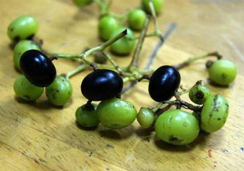 Đây không phải là giống nho ngoại mà chúng là sản phẩm của các khu rừng ở Việt Nam