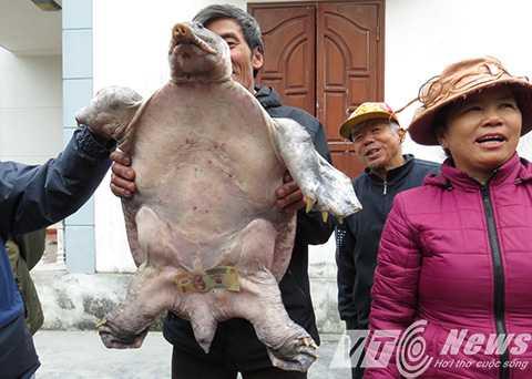 Ba ba 'cụ' ông Đỗ Văn Tý bắt được trên sông Đa Độ, nặng 17,5 kg - Ảnh MK