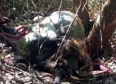 Xác bò tót bị bắn chết tại khu bảo tồn