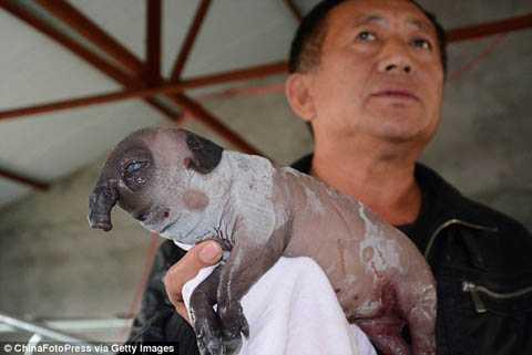 Một con lợn con với vẻ ngoài tương tự cũng được sinh ra tại Trung Quốc năm 2014. (Nguồn: (Nguồn: dailymail.co.uk)