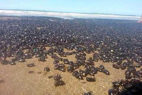 Hàng triệu con bọ hung tập trung ở khu vực bờ biển Argentina.