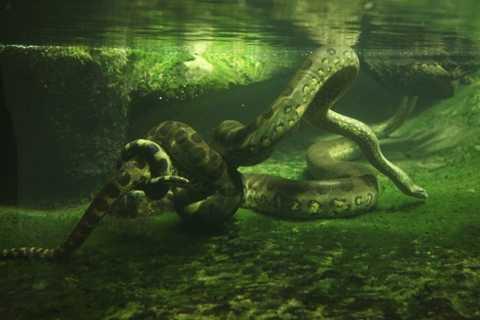 Rắn Anaconda khổng lồ. Hơn 200kg và dài tới 9m là những con số khủng khiếp khi nói đến kích thước của loài rắn khổng lồ này. Đây được coi là loài rắn lớn nhất thế giới và hầu hết thời gian nó đều