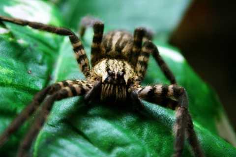 Nhện độc Brazil. Họ nhện này được coi là những con vật sở hữu nọc độc chết người, nguy hiểm nhất thế giới. Nếu không may bị một con nhện độc Brazil cắn, nạn nhân sẽ ngay lập tức rơi vào tình trạng khó thở và có thể chết sau thời gian rất ngắn.