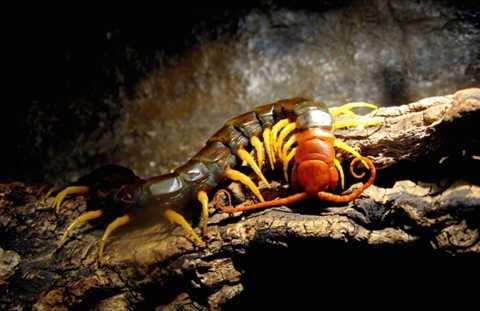 Rết khổng lồ Amazon. Rết bình thường đã là một loài động vật khiến nhiều người sợ hãi nhưng nhắc đến rết khổng lồ ở Amazon, nhiều người sẽ phải