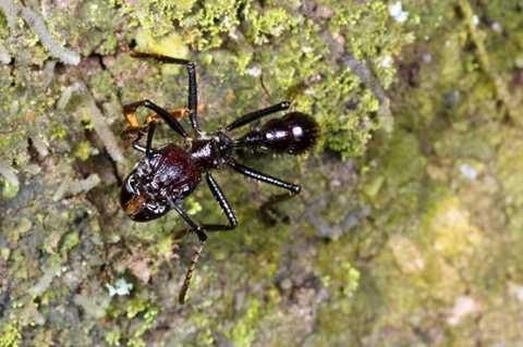 Kiến đầu đạn. Kích thước cơ thể của loài động vật này rất nhỏ nhưng nó sở hữu những vết cắn cực kỳ kinh khủng. Thậm chí vết cắn của chúng được coi là đau đớn hơn cả vết cắn của nhện độc Tarantula